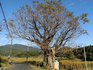 Wax_tree_in_Syukui.jpg